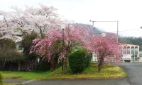 4月4日桜1